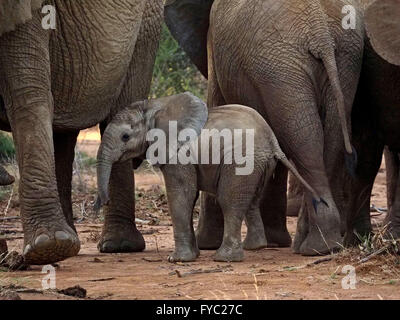 baby African elephant Loxodonta Africana contrasting with size of other herd members and mother's giant grey gray - Stock Photo