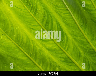 An close up of the underside of a large tropical plant in the rain. - Stock Photo