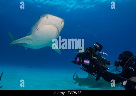 Videographer shooting at Tiger shark, Galeocerdo cuvier, Bahamas - Stock Photo