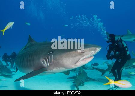 Tiger shark, Galeocerdo cuvier, looking at a scuba diver, Bahamas