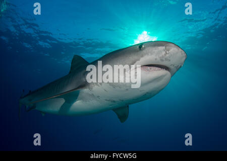 Tiger shark, Galeocerdo cuvier, swimming, Bahamas - Stock Photo