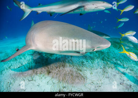 Lemon shark, Negaprion brevirostris, Bahamas - Stock Photo