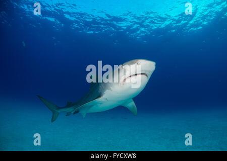 Tiger shark, Galeocerdo cuvier, underside, Bahamas - Stock Photo