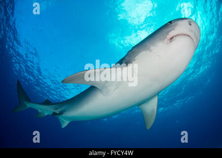 Tiger shark, Galeocerdo cuvier, underside, Bahamas - Stock Photo