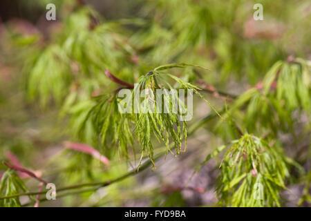 Acer palmatum dissectum. Cut-leaved Japanese maple leaf pattern. - Stock Photo