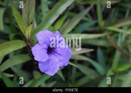 purple tropical flowers of ruellia simplex mexican bluebell or, Natural flower