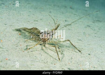 October 15, 2014 - shrimp (Palaemon sp.) Far East, Sea of Japan, Russia © Andrey Nekrasov/ZUMA Wire/ZUMAPRESS.com/Alamy - Stock Photo