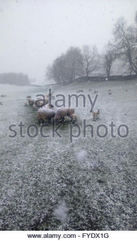 Nr Middleton-in-Teesdale, Co Durham UK  26th April 2016. Near Middleton-in-Teesdale as the snow falls on the sheep - Stock Photo