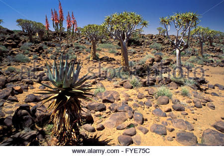 Quiver Trees forest Namibia - Stock Photo