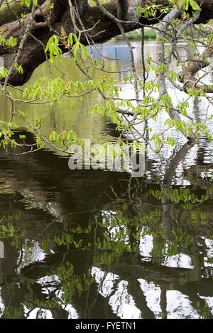Aesculus hippocastanum. Horse chestnut tree leaves in spring hanging over a river. UK - Stock Photo