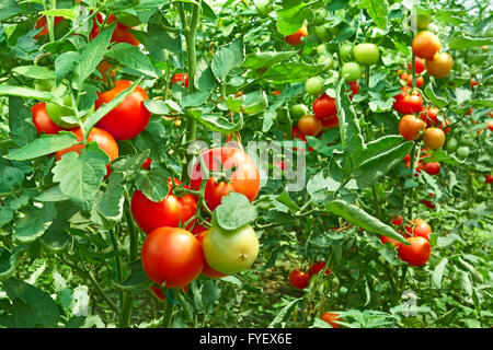 Tomatoes in greenhouse - Stock Photo