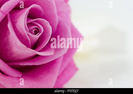 Pink rose close-up can use as wedding background - Stock Photo