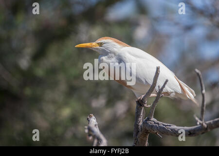 Cattle Egret (Bubulcus ibis) in breeding plumage, Camargue, France - Stock Photo