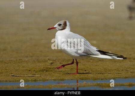 Black-headed Gull (Chroicocephalus ridibundus) walking near the water. The adult black-headed gull has a brown head - Stock Photo