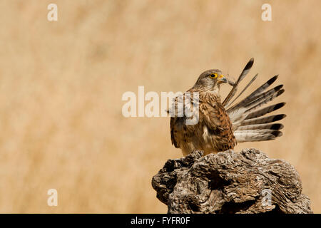 Common kestrel (Falco tinnunculus) female cleans its feathers. This bird of prey is a member of the falcon (Falconidae) - Stock Photo