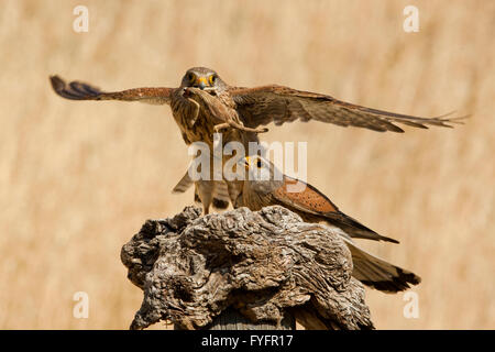Common kestrel (Falco tinnunculus) female flies off with a chameleon caught by the male. This bird of prey is a - Stock Photo