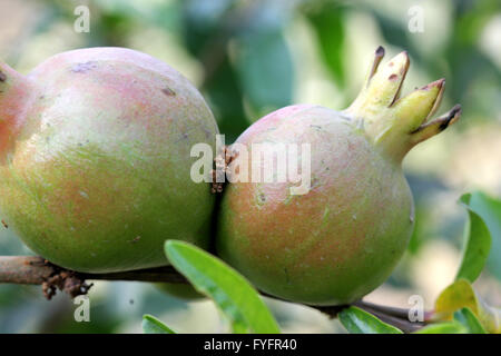 flowers of a pomegranate tree punica granatum fleurs de grenadier stock photo royalty free. Black Bedroom Furniture Sets. Home Design Ideas