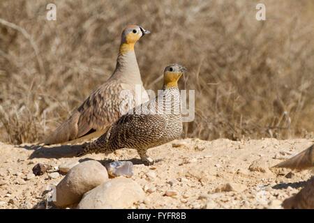 Crowned Sandgrouse (Pterocles coronatus) walking in the desert, negev, israel - Stock Photo