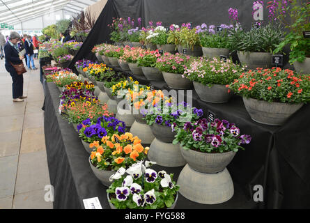 A Woman Looking at Flower Displays in the Plant Pavilion at the Harrogate Spring Flower Show. Yorkshire UK. - Stock Photo