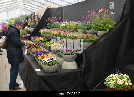 A Woman Looking at a Flower Display in the Plant Pavilion at the Harrogate Spring Flower Show. Yorkshire UK. - Stock Photo