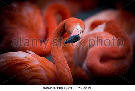 Flamingo looks towards the camera. - Stock Photo