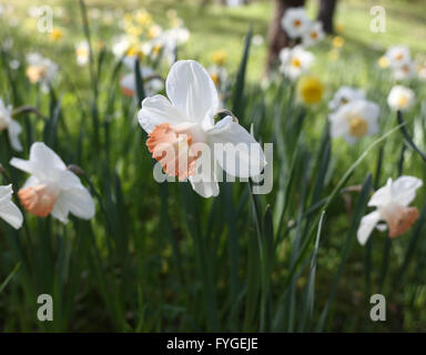 White Narcissus with pink trumpet, 'Chinese Coral' in the foreground - Stock Photo
