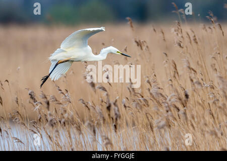 A great egret gliding over reeds - Stock Photo