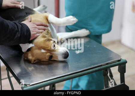 Dog at the vet in the surgery preparation room. - Stock Photo