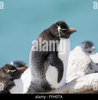 Southern rockhopper penguin, Eudyptes (chrysocome) chrysocome at the nesting colony on Saunders Island. Falkland - Stock Photo