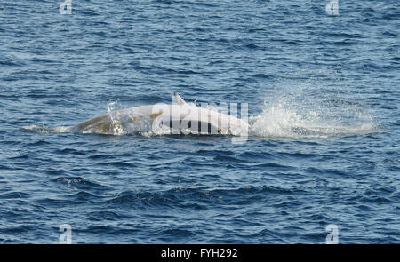 An Antarctic Minke Whale (Balaenoptera bonaerensis) crashes into the water after breaching exposing its white underside. - Stock Photo