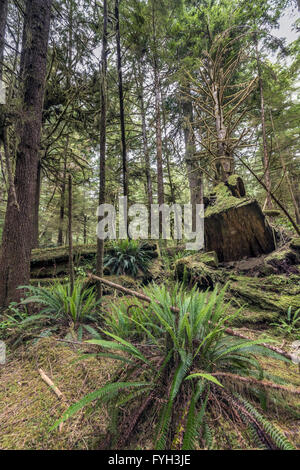 Old stump of a logged tree with ferns, deadfalls and mosses,  Pacific Rim National Park, Tofino, British Columbia - Stock Photo