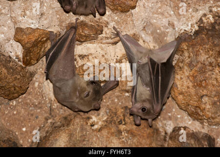 Egyptian Fruit Bat (Rousettus aegyptiacus) On a cave's wall. Photographed in the Judaean Hills, Israel - Stock Photo