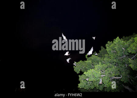 Egyptian Fruit Bat (Rousettus aegyptiacus) in flight at night. Photographed Sharon, Israel - Stock Photo