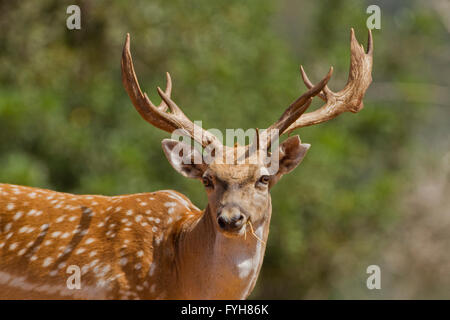 Male Mesopotamian Fallow deer (Dama mesopotamica) Photographed in Israel Carmel forest in July - Stock Photo