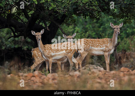 herd of  Mesopotamian Fallow deer (Dama mesopotamica) Photographed in Israel Carmel forest in August - Stock Photo