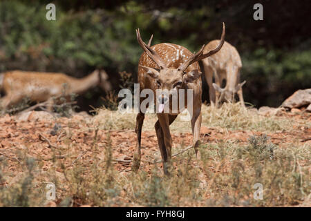 Male Mesopotamian Fallow deer (Dama mesopotamica) Photographed in Israel Carmel forest in August - Stock Photo
