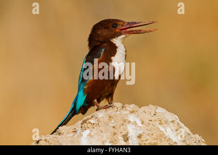White-throated Kingfisher (Halcyon smyrnensis) Photographed in the Negev Desert, Israel in December - Stock Photo