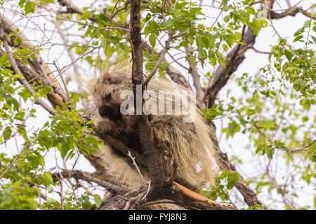 North American Porcupine, (Erethizon dorsatum), resting in a tree in the Rio Grande Bosque at Albuquerque, New Mexico, - Stock Photo