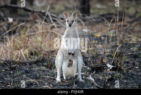 A Whiptail Wallaby, macropus parryi, kangaroo with a baby joey in her pouch standing in recently burned out Australian - Stock Photo