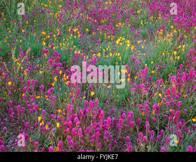 USA, Arizona, Organ Pipe Cactus National Monument, Spring bloom of owl's clover and gold poppy in the Puerto Blanco - Stock Photo