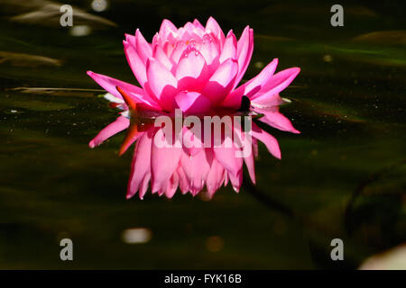 Single Pink Waterlily lotus flower with reflection floating in dark green pond - Stock Photo