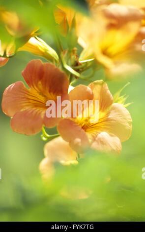 campsis trumpet flower stock photo royalty free image. Black Bedroom Furniture Sets. Home Design Ideas