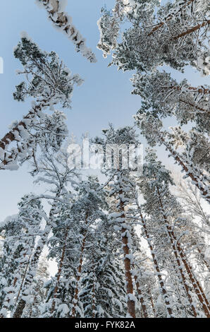 Winter snow covered treetops against the blue sky. Viitna, Estonia. - Stock Photo