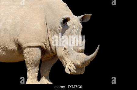 African white rhino on dark background, National park of Kenya - Stock Photo