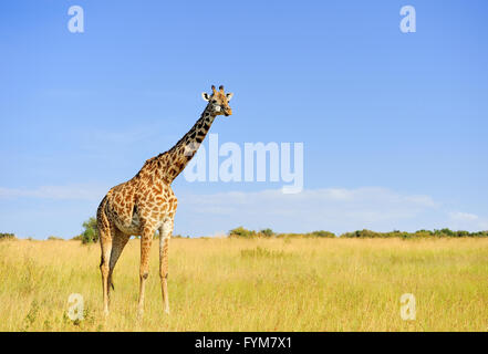 Giraffe in savannah, National park of Kenya, Africa - Stock Photo