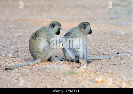 Two Vervet Monkey, National park of Kenya, Africa - Stock Photo