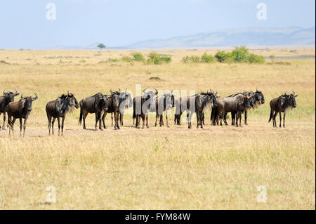 Wildebeest in National park of Kenya, Africa - Stock Photo