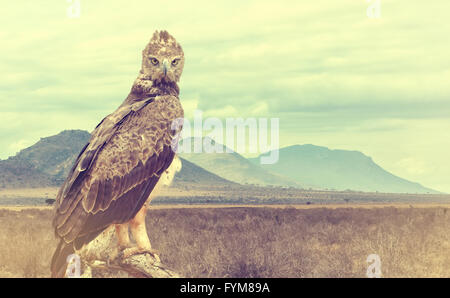 Wild african tawny eagle. Vintage effect. National park of Kenya, Africa - Stock Photo