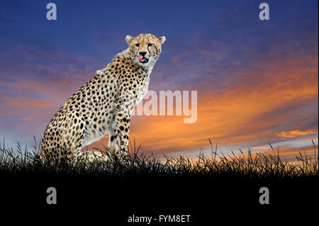 Cheetah against on the background of sunset sky - Stock Photo