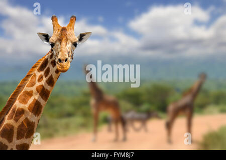 Giraffe on savannah in Africa, National park of Kenya - Stock Photo
